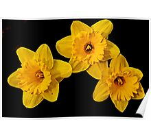Three Daffodils Poster