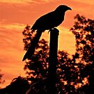 COUCAL SUNSET SILHOUETTE by NICK COBURN PHILLIPS