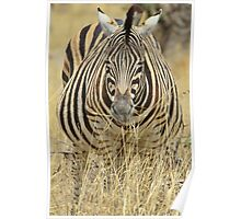 Zebra - African Wildlife - Laboring Pregnancy  Poster