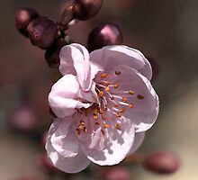 Soft as Blossom by Joy Watson