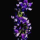 Purple Flowers by davesphotographics