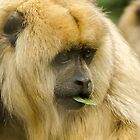 Howler Monkey by Darren Wilkes