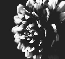 Black and White Dahlia by beresy