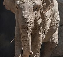 elephant at the zoo by spetenfia