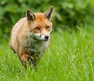 Foxing along by Anthony Brewer