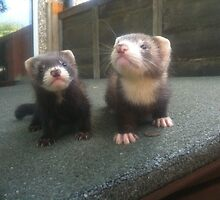 Curious Ferret Kits by FurryCritters
