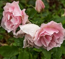 Pink Roses by Jarrett720