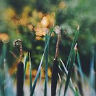 Sunset through the bulrushes by Indea Vanmerllin