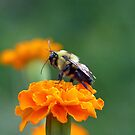 Busy Bee by Susan S. Kline
