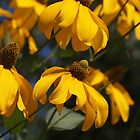 Rudbeckia 'Herbstsonne' by Linda  Makiej Photography