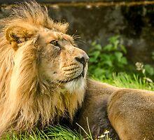 Resting Lion  by Darren Wilkes
