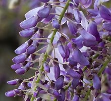 wisteria blooming by spetenfia