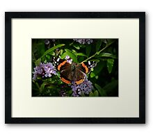 Red Admiral's Display Framed Print
