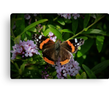 Red Admiral's Display Canvas Print