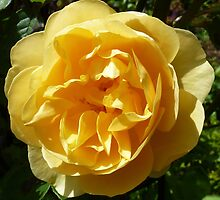 Yellow Rose by g369