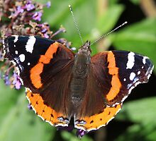 Red Admiral butterfly  111 by Rivendell7