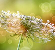 *Bokeh Queen Anne's Lace* by Darlene Lankford Honeycutt