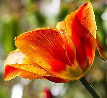 Wet Orange And Yellow Tulip by BonniePhantasm