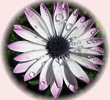 Raindrops on Cape Daisy - Vignette by kathrynsgallery