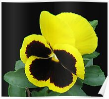 Lonesome - Yellow Blotch Pansy on Black Background Poster