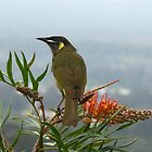 Lewin's Honeyeater #1 by Marilyn Harris