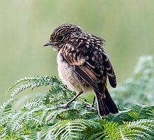 Juvenile Stonechat by Paul Spear
