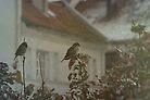 Stubborn Sparrows by decorartuk