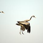 Common cranes landing in a funny way by Susanna Hietanen