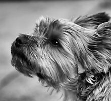 Yorkshire Terrier by kjdesigns
