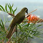 Lewin's Honeyeater #2 by Marilyn Harris