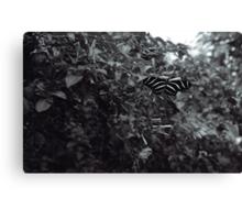 Zebra Butterfly in B&W Canvas Print