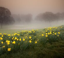 Welsh Misty Daffodils by leightoncollins