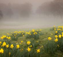 Welsh Misty Daffodils Sticker