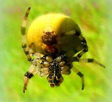 Araneus quadratus by ©The Creative  Minds