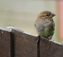 Sparrow on Fence by Raftee