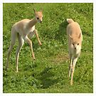 Baby Vicuna by peaky40