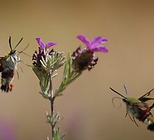 Bee Hawk-moths by jimmy hoffman