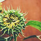 a sunflower in brooklyn by jdurban