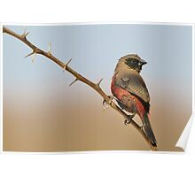 Blackcheeked Waxbill - Finding Thorny Solitude Poster