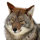 Facing a Cayote. by vette