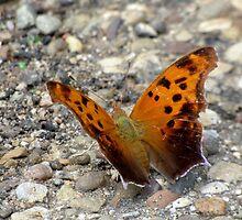 Eastern Comma Butterfly by artbybutterfly
