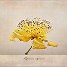 Hypericum calycinum by John Edwards