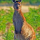 A Kangeroo with Attitude! by jozi1