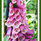 Foxglove blooms by Winona Sharp