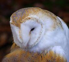 Barn owl  by slimdaz