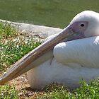 Pelican resting by Sandra Caven