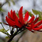 Illawarra Flame Tree Blossom by lezvee