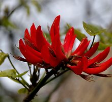 Coral Tree Blossom by lezvee