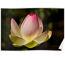 My Lotus Flower Poster
