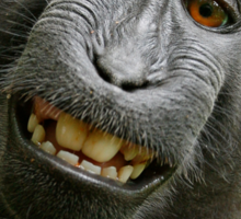 Monkey Selfie - Macaque Sticker